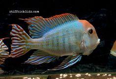 Geophagus sp. Red Head Tapajos South American Cichlids, Freshwater Aquarium Fish, New Tank, Tropical Fish, Central America, Sea Creatures, Fish Tank, Habitats, Fresh Water