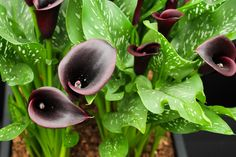 'Cantor Black' is native to South Africa and features tall, upright blooms with a glossy deep purple/black hue. Perfect for gardens of any size and containers.