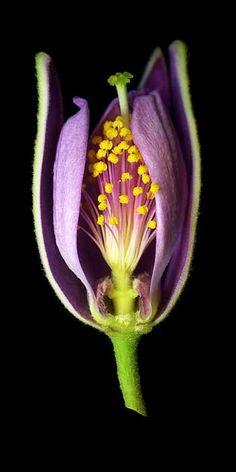 """Grewia Occidentalis flower by I'Lee Hooker, 12"""" x 24"""""""