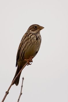 Corn Bunting  {Birds of Europe}