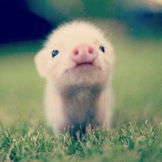 This is the cutest piglet ever!