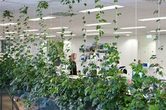Open Plan Offices x Indoor plants displays from Ambius x Love the vines growing on the wires x Garden feel for the office