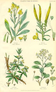 I love this type of illustration.  dye plants: woad, weld, madder.  Another for the herb book!!!