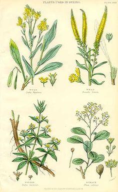 dye plants: woad, weld, madder