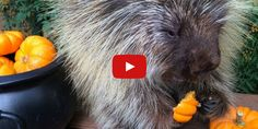 This Porcupine Loves Pumpkin Just As Much As We Do
