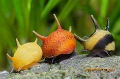 nerite snails