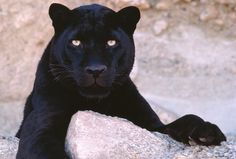 Black Panther is the melanistic color variant of any Panthera species - Tibba