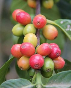 Calling all Coffee lovers!  Find out how coffee is grown and processed on a plantation! (Guatemala) From the Plantation to the Perfect Cup of Coffee http://www.compassandfork.com/from-the-plantation-to-the-perfect-cup-of-coffee/