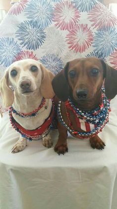 Star-spangled dachshunds