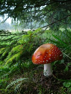 Amanita muscaria. One of my favorite plants to use in art work. Love the color
