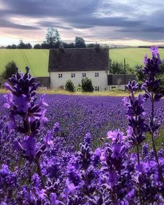 """landscape-lunacy: """"Cotswold Lavender, England - by AJ Photography"""" Stunningly Beautiful, Beautiful World, Beautiful Places, Beautiful Pictures, Amazing Places, Trees Beautiful, Wonderful Places, Aj Photography, Lavender Fields"""