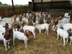 Why goat meat is set to be the next big food trend: it's not just tasty, it's ethical, too Baby Puppies, Bulldog Puppies, Cabras Boer, Boer Goats, Goats For Sale, Show Goats, Bucking Bulls, Raising Goats, Goat Meat