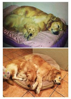 Before and after! Same love #goldenretriever