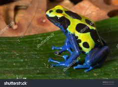 Poison Dart Frog Bright Yellow Blue Stock Photo 92034464 ...