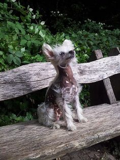 love a hairy hairless - like my own dear boy! File:Chinese Crested Dog - hairy hairless.jpg