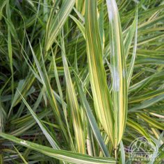 Hakonechloa macra 'Sunny Delight' - Japanese Forest Grass Perennial