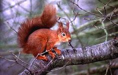 Perthshire - home to beautiful red squirrels
