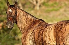 Brindle colored horse!
