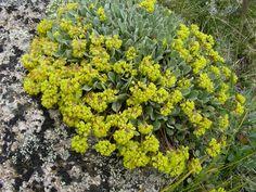 Eriogonum umbellatum (Sulphur-flower buckwheat) #45725