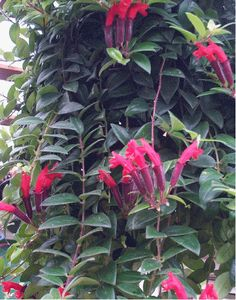 Lipstick Plant (Aeschynanthus radicans) - to A trailing house plant with attractive foliage and interesting flowers. The orange-red tubular flowers rise from a dark-red calyx, reminiscent of lipstick emerging from its tube. Exotic Plants, All Plants, Tropical Plants, Indoor Plants, Lipstick Plant, Orchid Cactus, Hanging Plants, Hanging Baskets, Go Green