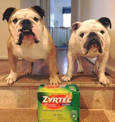 Yes, Zyrtec helps bulldogs with allergies, suggested dosage for canine zyrtec, NuVet Plus dosage for bulldogs, NuVet plus for allergies, Dog vitamins for itchy allergy dogs, http://bulldogvitamins.blogspot.com/2015/07/does-your-dog-have-watery-eyes-itc