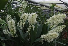 imagens de orquideas dendrobium - Pesquisa Google