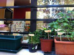 Huerto en maceta, ventana de la cocina #Huerto