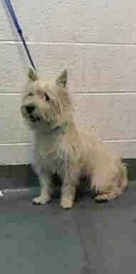 Urgent Dogs of Miami · MACKENZIE (A1415841) I am a male white West Highland White Terrier. The shelter staff think I am about 3 years old and I weigh 16 pounds. I was turned in by my owner and I may be available for adoption on 01/05/2015. https://www.facebook.com/urgentdogsofmiami/photos/pb.191859757515102.-2207520000.1419980388./899279093439828/?type=3&theater