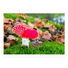 Fly agaric in moss with fall leaves.JPG Postcard - postcard post card postcards unique diy cyo customize personalize