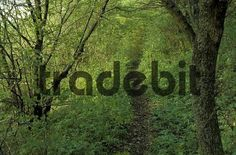 Little path leading into dense deciduous wood Wieslauf valley Rems-Murr district / county Baden-Wuerttemberg Germany