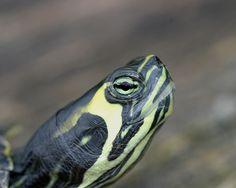 Yellow-bellied slider, focus on head markings.