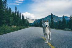 Loki chien-loup 8