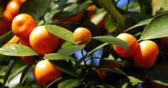 How Long Does It Take to Grow an Orange Tree? - Ask.com
