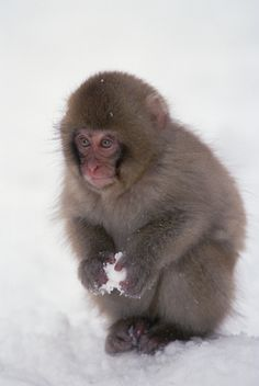Picture Id: 1151593 Add image to current lightbox Rights ManagedAdd image to image cart Japanese Macaque or Snow Monkey (Macaca fuscata) baby playing with snowball, Japanese Alps, Japan Cute Wild Animals, Happy Animals, Animals And Pets, Beautiful Creatures, Animals Beautiful, Types Of Monkeys, Japanese Macaque, New World Monkey, Pet Monkey