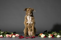 Dog with flowers - Studio shot of sitting brown dog with flowers on the set