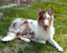 Red merle rough collie puppy. WOW that is rare!!!!