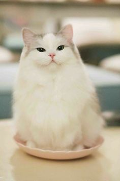 Click the Photo For More Adorable and Cute Cat Videos and Photos Cute Cats And Kittens, I Love Cats, Crazy Cats, Cool Cats, Kittens Cutest, Pretty Cats, Beautiful Cats, Animals Beautiful, Pretty Kitty
