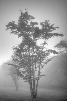 """Tree in mist -B -HDR, Karuizawa, Nagano, Japan,"" by nipomen2, via Flickr"