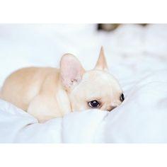 Leo, the French Bulldog Puppy has his eye on you, @frenchieleo on instagram.