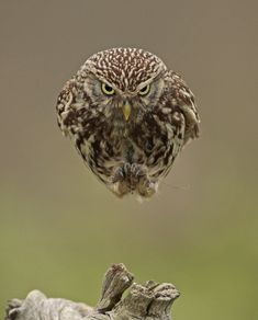 An Owl Flying Straight into a Camera Looks like a Hovering Spaceship  http://www.thisiscolossal.com/2014/11/an-owl-flying-straight-into-a-camera-looks-like-a-hovering-spaceship/