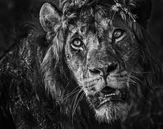 Kenya, East Africa - A lion photographed by David Yarrow, who used the smell of aftershave to attract the animals to his remote cameras. Photograph: David Yarrow/PA