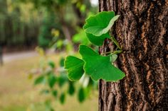 A Ginkgo biloba é vulgarmente designada de árvore-dos-quarenta-dinheiros, nogueira-do-Japão ou pé-de-pato, existindo…