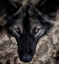 American Alsatian, or German shepherd malamute mix. Bred to resemble dire wolves.