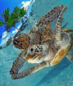 Great reflection on the water of this Sea Turtle picture......
