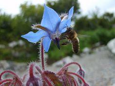 Borage flower with bee.  Burren Perfumery, Co. Clare.  Photo by K. Eaton.