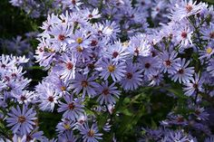 Symphyotrichum 'Little Carlow - Aster .45x.90cm high Aug to Oct
