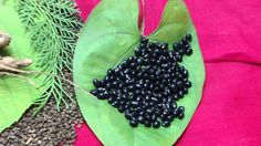 Pankaj Oudhia's Healing Herbs: Diabetes mellitus Type 2 with Gout. HF-734