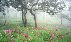 Kra Jiao Flowers Forest, Thep Sathit District, Chaiya Phum Province, Thailand.