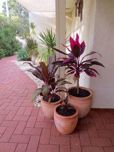 Cordyline rubra Deco, Natural, Flowers, Plants, Florals, Decoration, Deko, Planters, Decor
