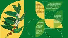El Cafeto, la planta que da origen al café.
